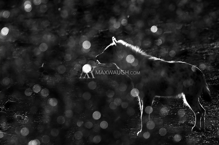 A spotted hyena photographed through a backlit bush.  This image is also available in color.