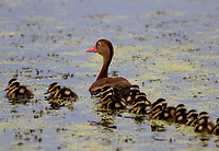 Black-bellied whistling-duck with baby ducks. The baby ducks were hard to count but there were at least 13.