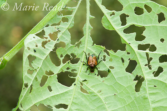 Japanese Beetle (Popillia japonica), an introduced pest insect, showing the damage it causes as it feeds on a green-bean leaf, New York, USA<br /> Woodfall/Photoshot