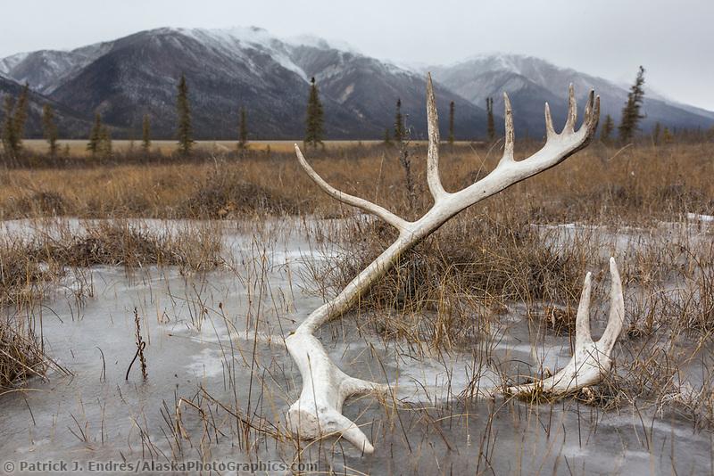 Antler frozen in ice on the tundra of Alaska's Brooks Range.
