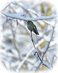 Anna's Hummingbird is perched on end of snow covered tree branch with filtered sunlight in the background with a soft light treatment and white vignette around frame