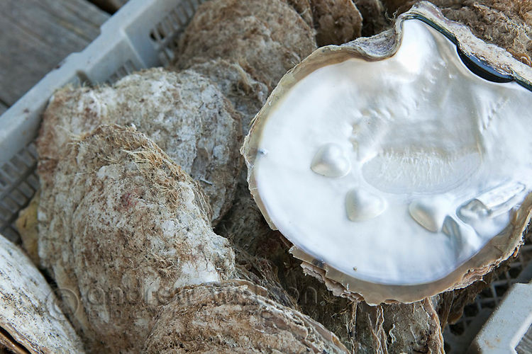 Pearl oyster shell with love heart designs  grown into the shell.  Kazu Pearls, Friday Island, Torres Strait Islands, Queensland, Australia