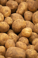 Lifting potatoes in Rutland<br /> &copy;Tim Scrivener Photographer 07850 303986<br />      ....Covering Agriculture In The UK....