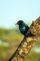 A glossy starling perches on a branch near the Imbabala Lodge in the Zambezi National Park, Zombabwe, East Africa.