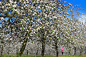 06/05/14<br /> <br /> Marta Mytys, 27, checks apple blossom for signs of frost damage after weekend overnight low temperatures at Stocks Farm, Suckley, Worcestershire. So far this spring fruit growers have seen milder than normal temperatures resulting in one of the most spectacular shows of blossom for years.  <br /> <br /> All Rights Reserved - F Stop Press.  www.fstoppress.com. Tel: +44 (0)1335 300098