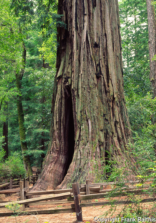 coast redwood, mother of the forest