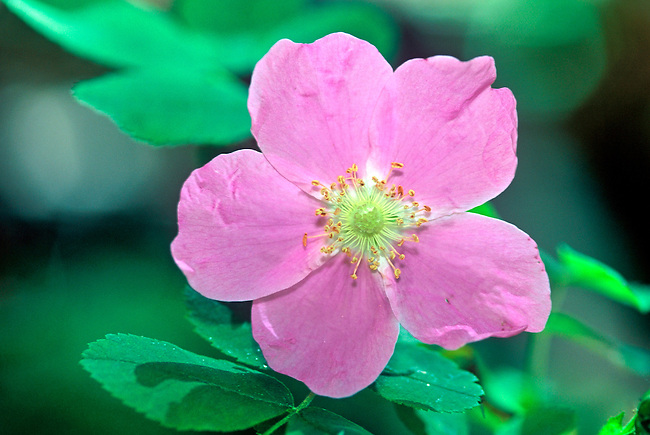 A single bloom of a wild rose (Rosa) growing in the montane region of Rocky Mountain National Park, Colorado.