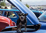A dog sits in the trunk of a car on display during the Hot August Nights Pre-Kickoff show and shine held at the Bonanza Casino in Reno, Nevada on Sunday, August 4, 2013.