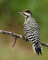 """Cactus Woodpecker"" is an old name for a subspecies of the Ladder-backed Woodpecker inhabiting the southwestern United States. ""Cactus"" is an appropriate word to associate with this species, as it frequently forages on and nests in various species of cactus."