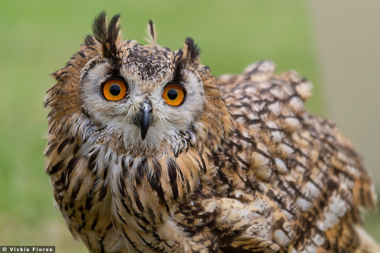 Berkely Owls at Lambeth Country Show 2012