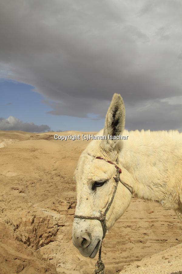 Judean Desert, a donkey in Wadi Qelt