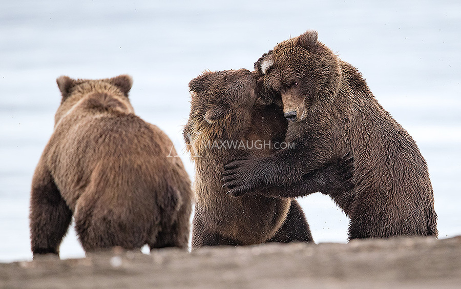 I was fortunate to see a little bit of action on my final day when a subadult bear approached a sow and her two cubs. Chases and some brief fighting ensued. The subadult's sibling watches the action... it actually managed to sneak in while the other two were occupied and steal some food.