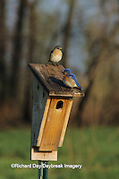 01377-05715  Eastern Bluebird (Sialia sialis) male & female on Peterson nest box Marion Co.  IL