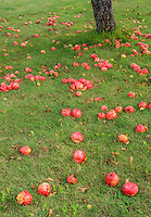 Apples lie on the ground underneath one of the last apple trees where an orchard used to be, Grand View Landtrust Park, Door County, Wisconsin