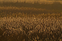 Backlit reeds, Phragmites australis, winter, Norfolk UK