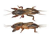 Mole Cricket - Gryllotalpa gryllotalpa