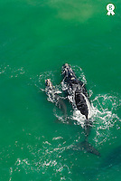 Southern right whale  (Eubalaena australis) with calf breaching the surface, aerial view (Licence this image exclusively with Getty: http://www.gettyimages.com/detail/73014024 )