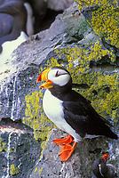 Horned Puffin, St. Paul Island, Pribilof Islands, Alaska.