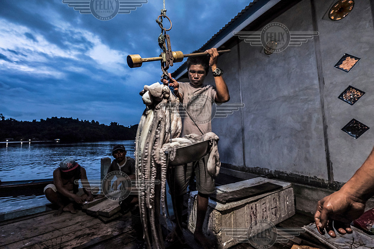 Bajau men weigh recently caught octopuses in the village of Pulo Papan. The catch will be sent to the nearby town of Ampana for processing. Octopus is one of the main sources of income for the villagers.