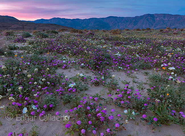 Dusk, Sand Verbena, Morning Glory, Dune Evening Primrose, Anza-Borrego Desert State Park, California