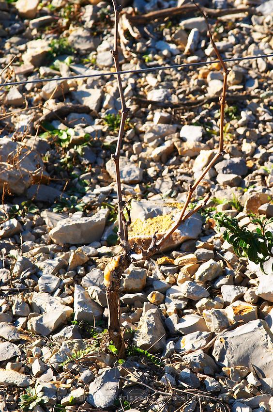 Domaine de Mas de Martin, St Bauzille de Montmel. Gres de Montpellier. Languedoc. Vines trained in Gobelet pruning. Young vines. Terroir soil. In the vineyard. France. Europe. Soil with stones rocks. Calcareous limestone.