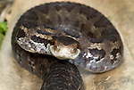 Godman's Pit Viper Snake, Cerrophidion godmani, venomous pitviper species found in Mexico and Central America, portrait.Central America....