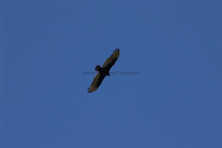 A turkey vulture soaring on the wind.  The band of white feathers along the underside of the wings appears silvery from beneath.