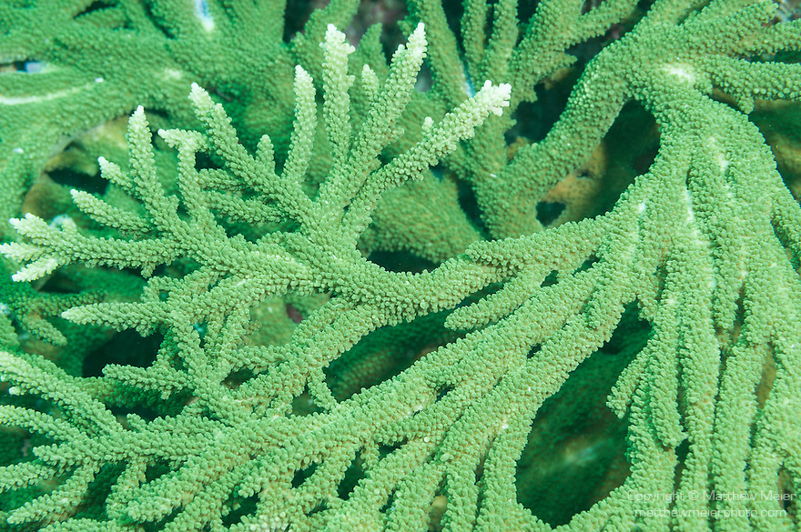 Fakfak Regency, West Papua, Indonesia; branching, green Acropora sp. stony corals