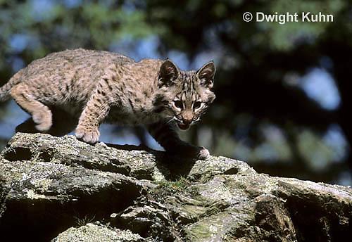 MA15-024x   Bobcat - Felis rufus