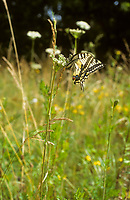 Schwalbenschwanz, Eiablage, Schwalben-Schwanz, Papilio machaon, Old World Swallowtail, common yellow swallowtail, swallowtail, swallow-tail, Le Machaon, Grand porte-queue