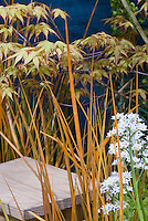 Libertia 'Taupo Sunset' + Mukdenia rossii + Japanese maple tree Acer palmatum 'Katsura'
