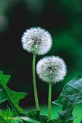 DN01-017c Dandelion Seed Puff Taraxacum officinale.