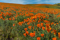 California poppies cover hills and draws near the Antelope Valley California Poppy Reserve.  March.