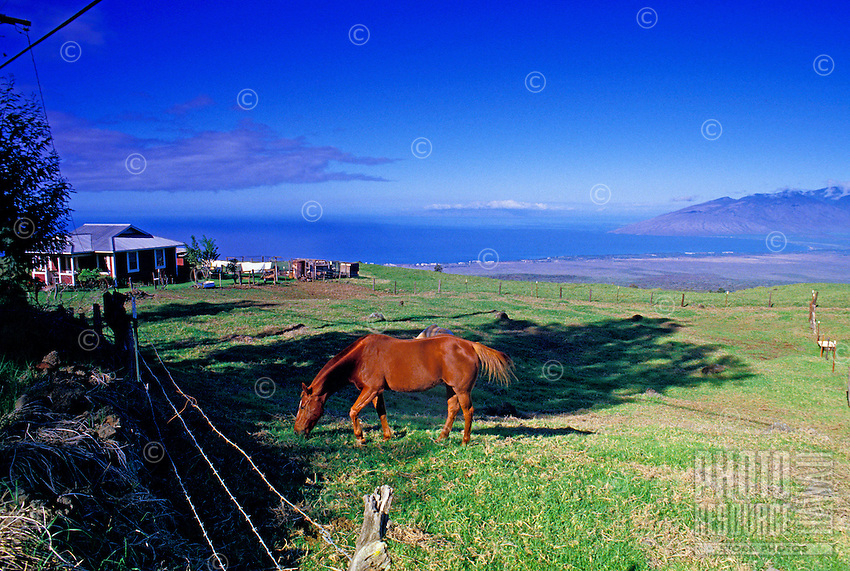 Horses graze in upcountry Maui on the slopes of Haleakala with the blue Pacific ocean in the distance.