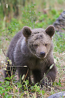 Grizzly bear cub walking through a field - CA