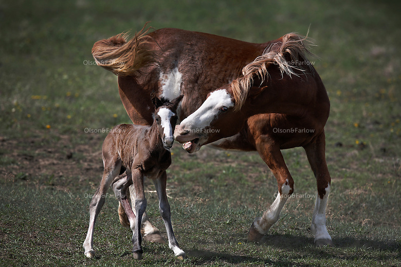 A grandmother loses patience with the new foal she was watching while the mother rested after giving birth.  She baby was born minutes earlier and is learning to stand up and take its first steps.  Wild horses from the Catnip herd live in North Dakota at International Society for the Protection of Mustangs and Burros.