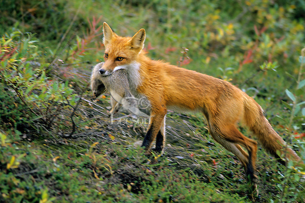 Red Fox carrying arctic ground squirre back to pups (at den).  Alaska.  Summer.
