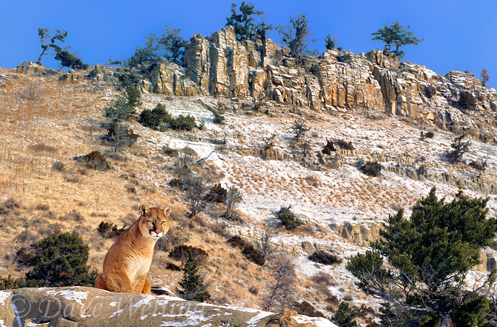 656326377 a captive mountain lion felis concolor sits on a rocky outcrop below a steep hillside grade in cental montana