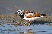 576000003 a wild adult ruddy turnstone arenaria interpres in breeding plumage walks along the shoreline on south padre island texas with a feather in its beak