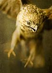 A stuffed taxidermy buzzard