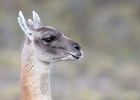 "A ""four point"" guanaco, with cloven ears."