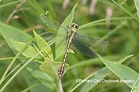 06468-00111 Westfall's Snaketail (Ophiogomphus westfalli) Centerville Slough fen Reynolds Co. MO