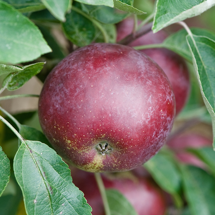 Apple 'Lawfam', early September. A dark maroon Canadian dessert apple, bred in 1898 in Ottawa, though not introduced commercially until 1924.