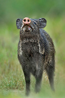 650520142 a wild javelina or collared peccary dicolytes tajacu in the rio grande valley texas united states