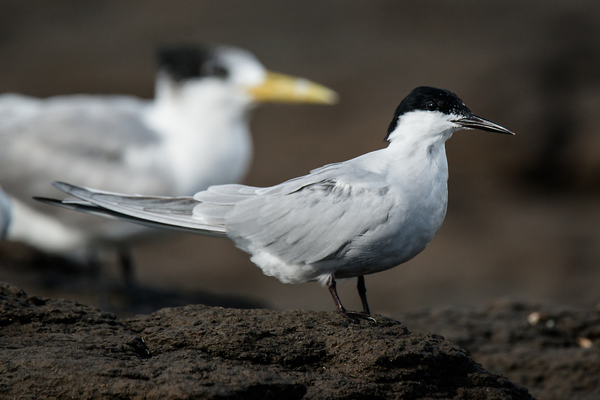 Common Tern, Ballina, New South Wales.