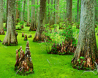 Bald cypress trees (Taxodium distichum) in Heron Pond Cache River State Natural Area Illinois