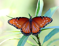 Female queen at Mexican milkweed