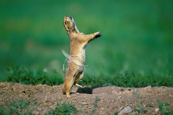 Black-tailed prairie dog signalling to other prairie dogs.