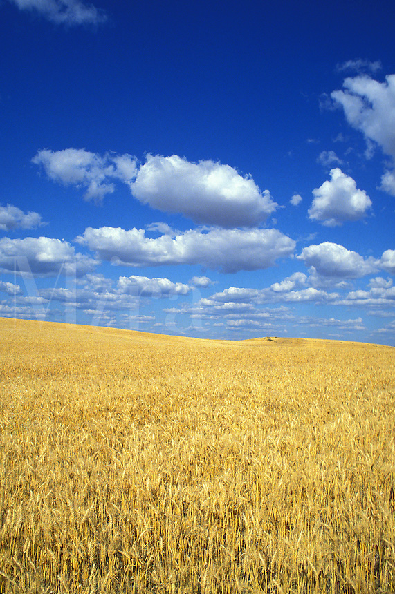 mature wheat Washington