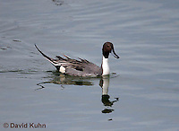 0716-0803  Male Northern Pintail, Anas acuta © David Kuhn/Dwight Kuhn Photography